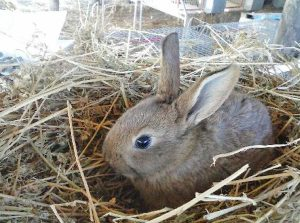 Coniglio leprino viterbese