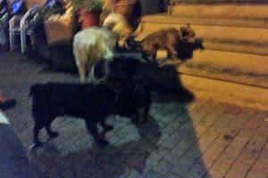 Tuscania - I cani sulla Piansanese