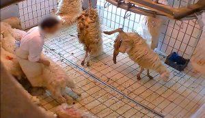Viterbo - Gli agnelli nel mattatoio ripresi dalle telecamere di Animal Equality