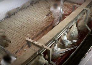 Viterbo – Gli agnelli nel mattatoio ripresi dalle telecamere di Animal Equality