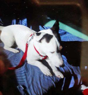 Dick, il cagnolino fuggito dopo l'incidente al Poggino