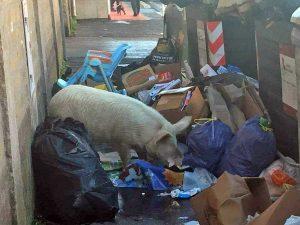 Roma - Un maiale tra i rifiuti