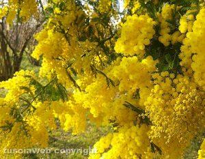 Vallerano - Mimosa in fiore il 28 gennaio