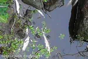 Tuscania - Pesci morti lungo il fiume Marta