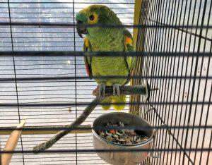 Il pappagallo ritrovato in casa di uno dei denunciati