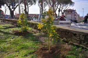 Tarquinia - Le nuove piante di mimosa al parco delle Mura