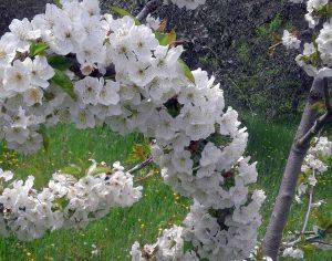 Celleno - Un albero di ciliegio