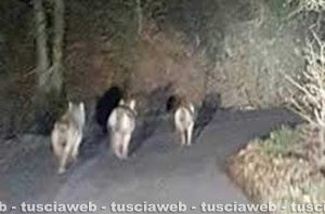 Viterbo - Un lupi alla Palanzana