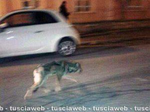 Viterbo - Un lupo in città