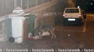 Viterbo - Un lupo in città rovista l'immondizia