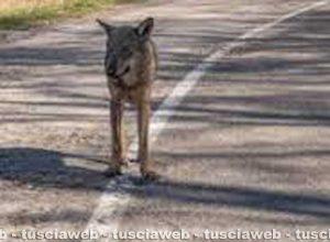 Viterbo - Un lupo sui Cimini