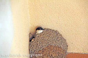Il nido di rondini a Tusciaweb