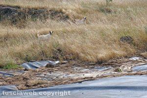 Vetralla-Cinelli - Capre nell'area della discarica