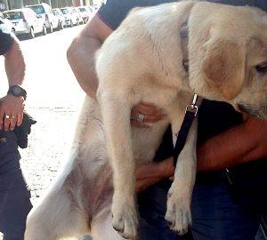 Il labrador salvato dalla polizia