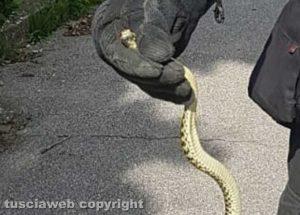Soriano - Serpente trovato nella macchina