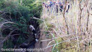 Montefiascone - Vitello cade in un fosso - Intervento dei vigili del fuoco e protezione civile