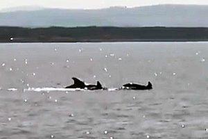 I delfini avvistati nel mare di Montalto