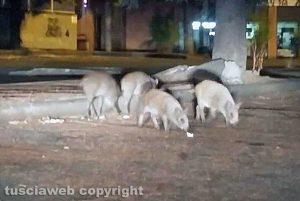 Viterbo - Cuccioli di cinghiale in via Monte Cervino