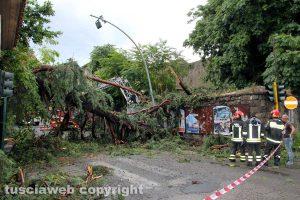 Viterbo - Il pino caduto su via del Pilastro