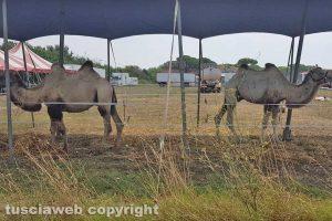 Tarquinia - Due cammelli del Rony roller circus