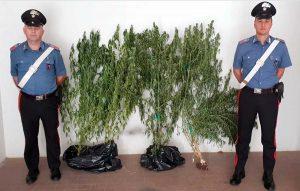 Castiglione in Teverina - Carabinieri - Le piante di canapa sequestrate