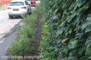 Viterbo - Erbacce lungo i marciapiedi alla Quercia