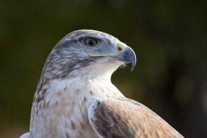 Un falcoUn falco