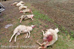 Pecore sbranate dai lupi