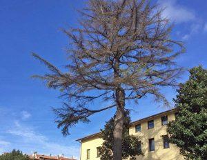 L'albero nel cortile della scuola media di Vetralla