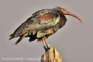 Ischia di Castro - Un esemplare di ibis eremita