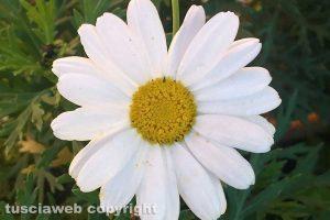 Viterbo - Un fiore d'inverno