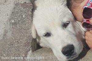 Soriano nel Cimino - Smarrito cucciolo maremmano abruzzese