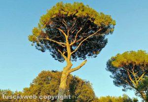 Roma - Un pino