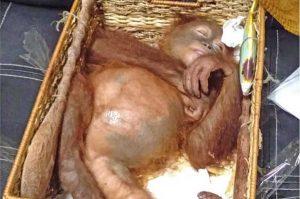 Bali - L'orango trovato nella valigia del turista russo