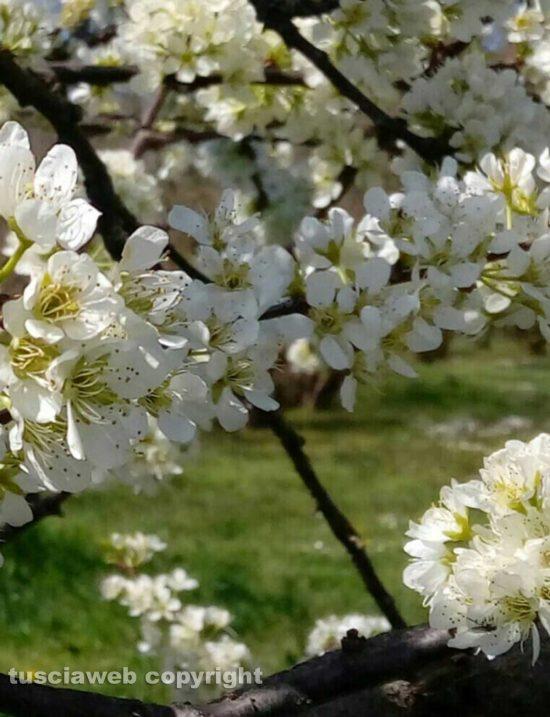 Susino in fiore