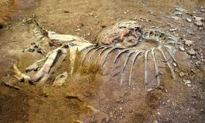 Il fossile di dinosauro trovato a Valle Faul