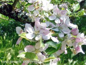 Capranica - Melo in fiore