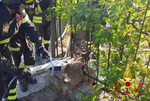 Pavia - I vigili del fuoco salvano un capriolo
