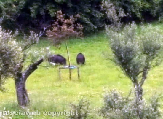 Viterbo - Santa Barbara - Cinghiali al Parco delle querce