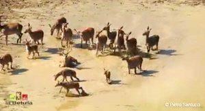 La corsa dei cervi verso l'acqua