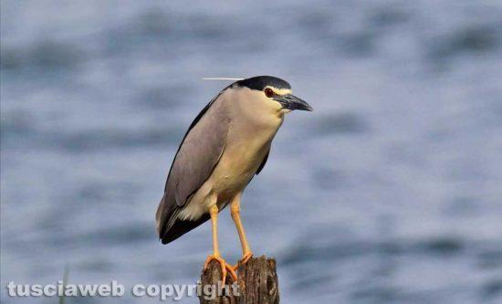 Un uccello al lago di Bolsena