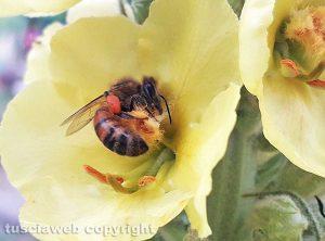 Ape bottinatrice di polline su verbasco