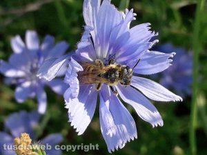 Insetto pronubo su fiore di cicoria