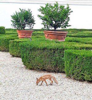 Roma - Le volpi a Villa Pamphilj