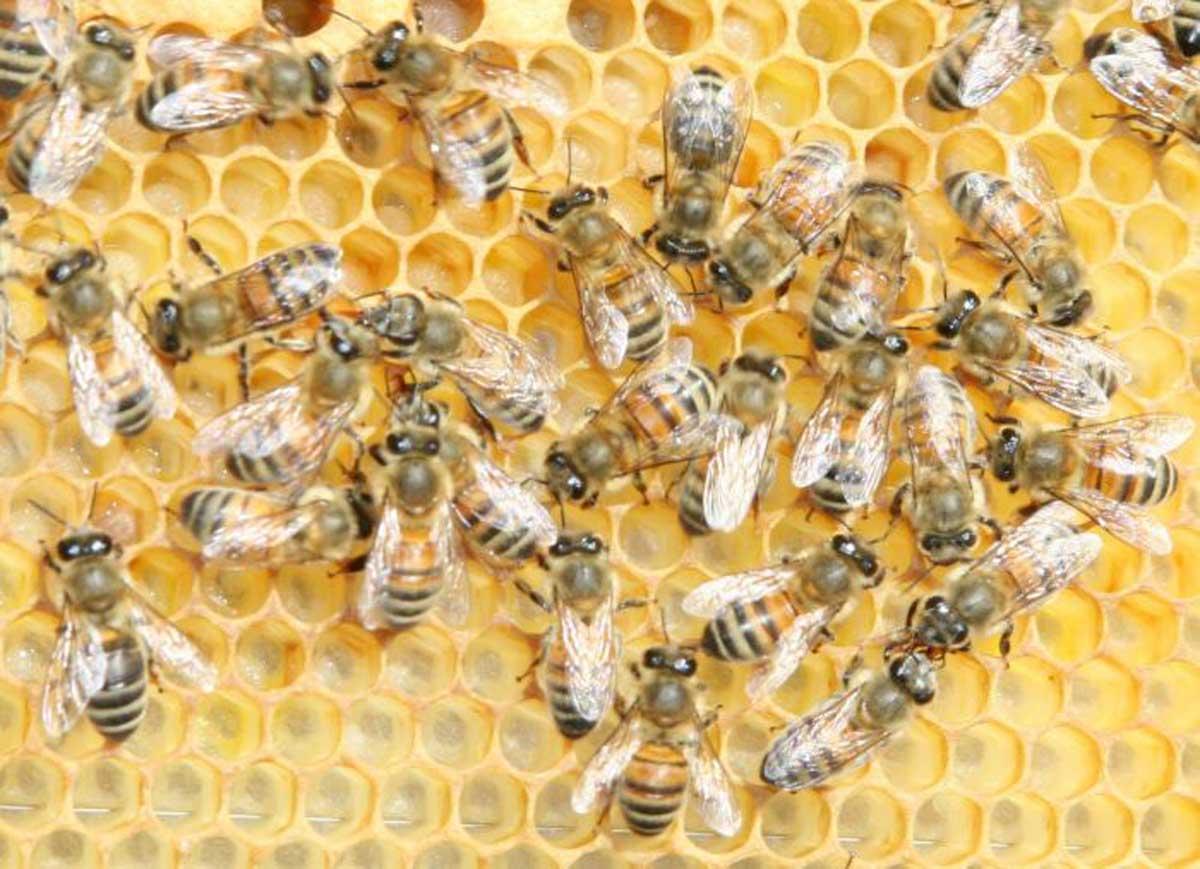 Attaccato da uno sciame d'api, muore cooperante italiano: