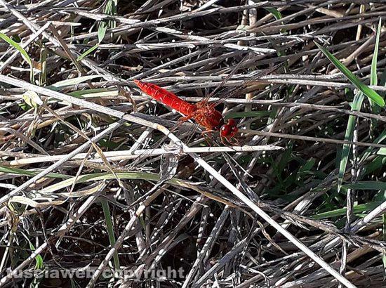 Una libellula