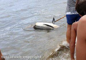 Orbetello - Delfino morto alla spiaggia della Feniglia