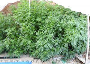 Civita Castellana - Carabinieri - Le piante di marijuana