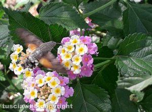 Viterbo - una sfinge colibrì su infiorescenza di lantana - Foto di Giampiero Ubertini