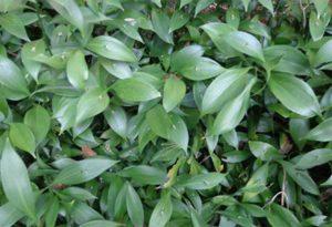 Ruscus hypolossum - La pianta delle foglie con la spina di Santa Giacinta Marescotti